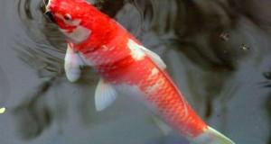 Рыбы для пруда