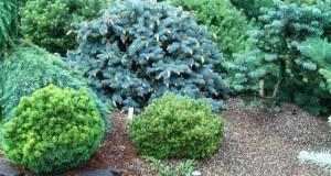 Вечнозеленые растения для рокария