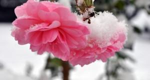 Как укрыть розы на зиму (часть 1)