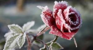 Как укрыть розы на зиму (часть 2)
